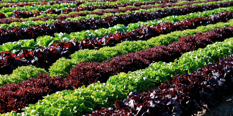 slide-lettuce