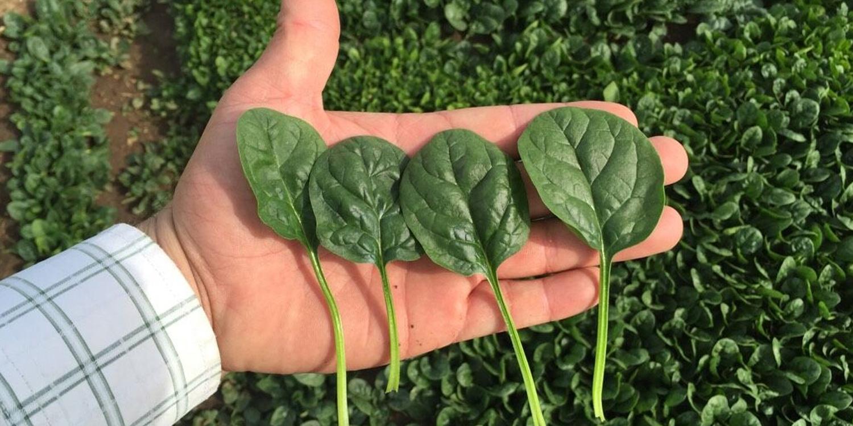 Slide-Spinach